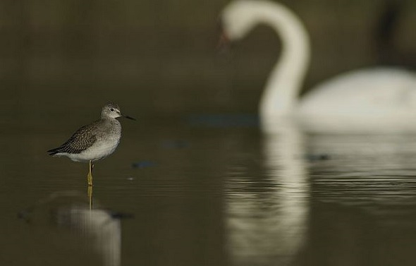 YellowLegs & Swan