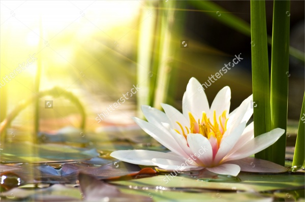 Lotus-Flower-Background-Design